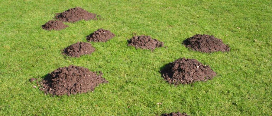 Dirt Gopher Mounds on Green Lawn