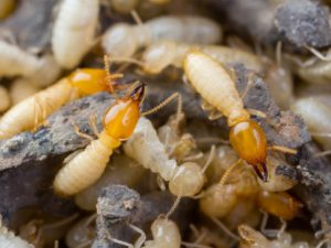 3 Facts About Termite Invasions in the Inland Empire