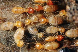 drywood and subterranean termites