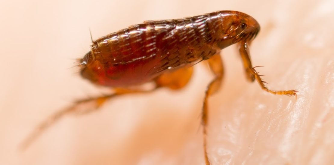 Flea on skin