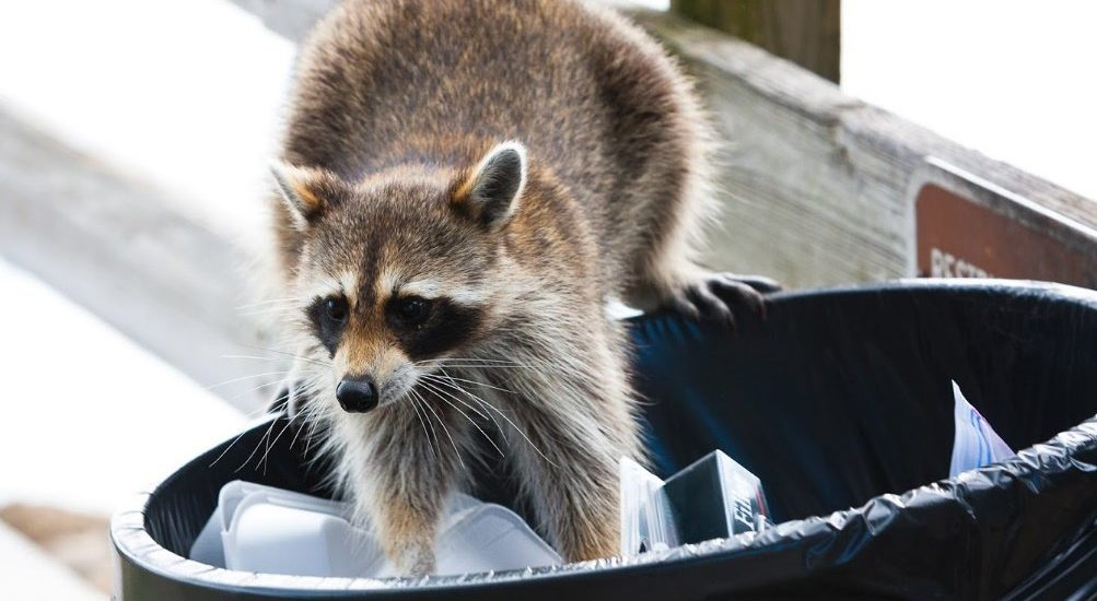Learn more about raccoons