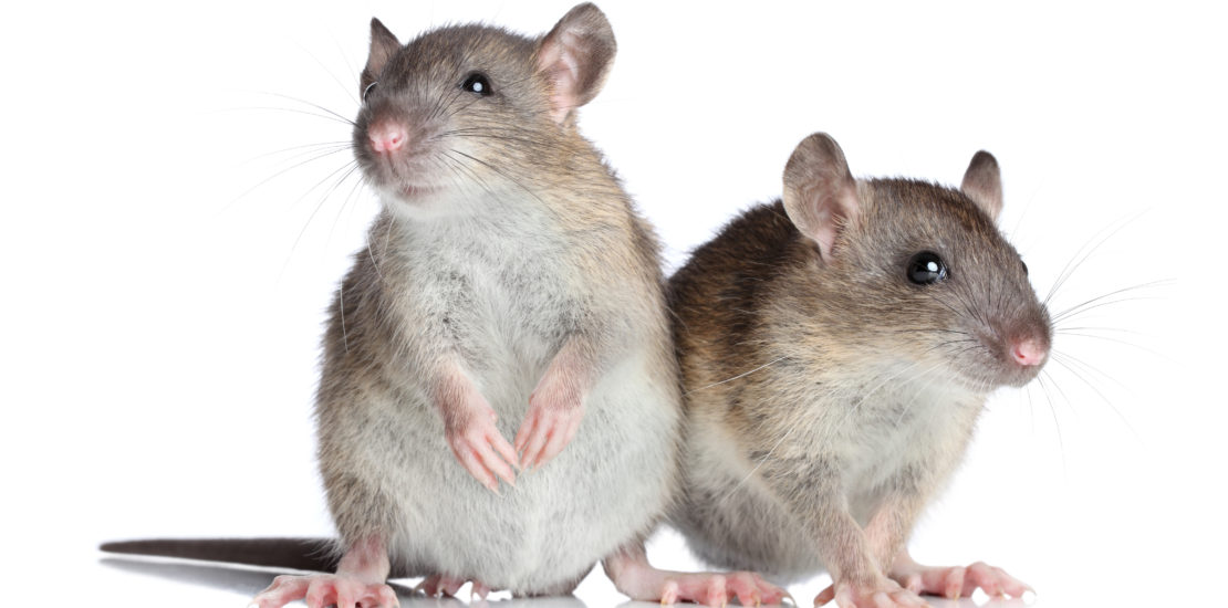 What every homeowner should know about mice and rodents