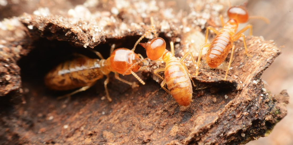 A Scientific Look at the Termite