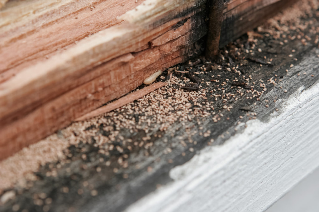Frass A Key Sign Of Drywood Termite Infestations Craig Sons Termite Pest Control