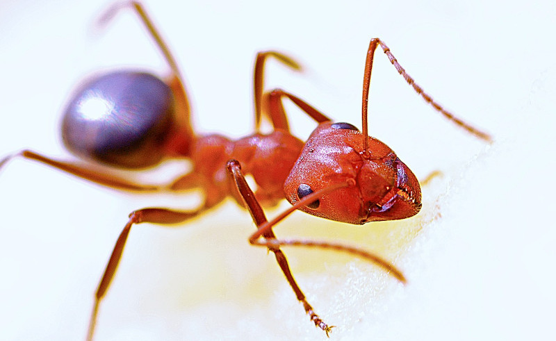 Ant Extermination in Riverside County, CA