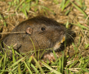 Southern California Pocket Gopher